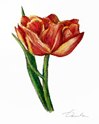 Green Foliage Drawings Prints - Orange Tulip Print by Danuta Bennett