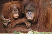 Emoting Framed Prints - Orangutan Pongo Pygmaeus Mother Framed Print by Gerry Ellis