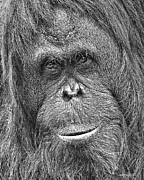 Orangutan Digital Art Metal Prints - Orangutan Portrait Metal Print by Larry Linton