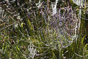 Dewdrops Prints - Orb-weaver Spider Webs Print by Dr Keith Wheeler