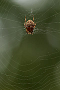 Creepy Crawly Posters - Orb weaving spider on web with green background Poster by Adam Long