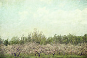 Apple Tree Prints - Orchard of apple blossoming tees Print by Sandra Cunningham