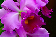 Cattleya Photo Framed Prints - Orchid 5 Framed Print by Julie Palencia