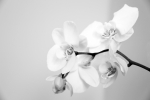 Orchid Print by Amanda Barcon
