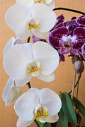Orchids Art Print Prints - Orchid Delight Print by Carmen Del Valle