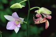 Animalsandearth Photos - Orchid Mantis Hymenopus Coronatus by Thomas Marent