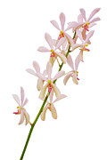 Descriptive Posters - Orchid Panicle Poster by Atiketta Sangasaeng