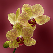 Indiana Flowers Prints - Orchid Print by Sandy Keeton