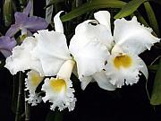 Orchids In White Print by Mindy Newman