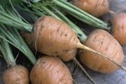 Organic Carrots (daucus Carota 'parmex') Print by Maxine Adcock