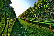 Wesley Allen Photography Photos - Osoyoos Vineyard by Wesley Allen Shaw