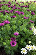 Prescott Photo Prints - Osteospermum flowers Print by Erin Paul Donovan