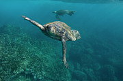 Cheloniidae Prints - Pacific Green Sea Turtle Chelonia Mydas Print by Pete Oxford