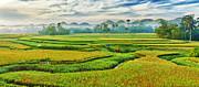 Paddy Rice Panorama Print by MotHaiBaPhoto Prints