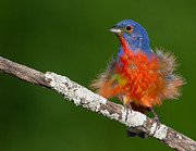 Ray Downs - Painted Bunting...