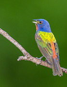 Ray Downs - Painted Bunting singing