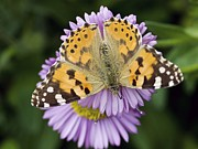 Painted Lady Butterflies Prints - Painted Lady Butterfly Print by Adrian Bicker