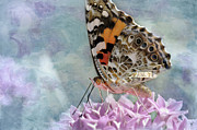 Purple Garden Posters - Painted Lady Butterfly Poster by Betty LaRue