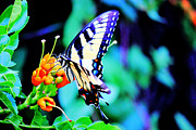 Colorful Photography Drawings Posters - Pale Swallowtail Butterfly Poster by Barry Jones