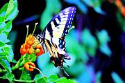 Barry Jones - Pale Swallowtail Butterfly