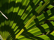 Palmettos Framed Prints - Palmetto Shadows Framed Print by Theresa Willingham