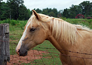 Theria Framed Prints - Palomino at Fence - c2840a Framed Print by Paul Lyndon Phillips