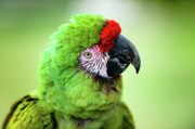Vet Photo Posters - Parrot Poster by Sebastian Musial