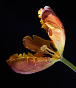 Flower Design Photos - Parrot Tulip 26 by Robert Ullmann