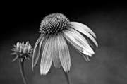 Cone Flower Prints - Passages bw Print by Steve Harrington