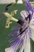 Passiflora Framed Prints - Passion Flower Framed Print by Archie Young