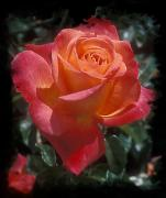 Peach Prints - Peach Colored Rose Print by Heinz Mielke