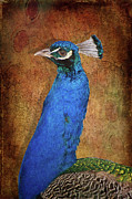 Fauna Mixed Media Acrylic Prints - Peacock Acrylic Print by Angela Doelling AD DESIGN Photo and PhotoArt
