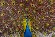 Blue Tail Framed Prints - Peacock Framed Print by Carlos Caetano