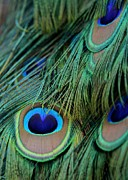 Peafowl Photos - Peacock Feathers by Sabrina L Ryan