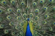 Expand Framed Prints - Peacock Framed Print by Greg Vaughn - Printscapes