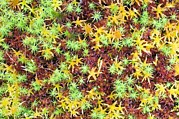 Forest Floor Prints - Peat Moss (sphagnum Sp.) Print by Duncan Shaw