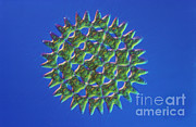 Eukaryotic Art - Pediastrum Sp. Algae, Lm by M. I. Walker