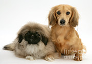 Dachshund Puppy Posters - Pekingese And Dachshund Puppies Poster by Jane Burton