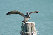 Florida Art - Pelican by Aimee L Maher