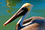 Colorful Bird Prints - Pelican Portrait by Carmen Del Valle