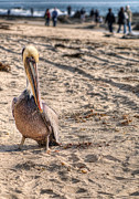Wild Life Prints - Pelican Portrait Print by Eddie Yerkish