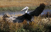 Pelican Wings Print by Thomas Photography