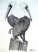 Ink Drawings - Pelicans by Frederic Kohli