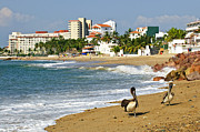 Tropical Destinations Prints - Pelicans on beach in Mexico Print by Elena Elisseeva