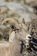 Feeding Photographs Prints - Peninsular Bighorn Sheep Ovis Print by Rich Reid