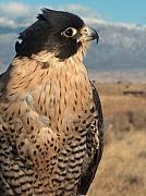 Peregrine Falcon Print by Tim McCarthy