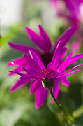 Pericallis Photo Posters - Pericallis Senetti Poster by Ingalill Sjogren