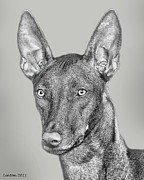 Akc Framed Prints - Pharaoh Hound Framed Print by Larry Linton