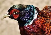 Pheasant Print by Thomas Photography