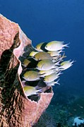 Sheltering Prints - Philippines Chromis Print by Georgette Douwma